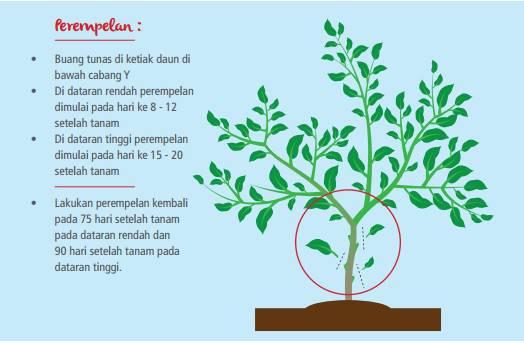cara perawatan tanaman cabe