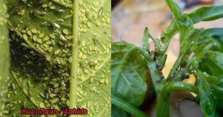 hama tanaman cabe dan obatnya