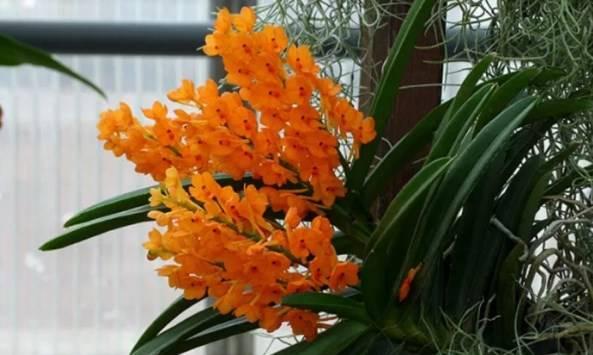 jenis bunga anggrek kebutan