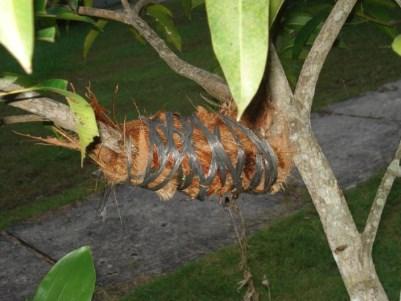 mangga cangkok cepat berbuah