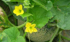 Cara Pemangkasan Tanaman Melon Agar [Buah Besar dan Manis]
