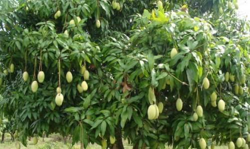 Cara Pemangkasan pada Pohon Mangga