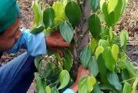 cara memotong tanaman lada