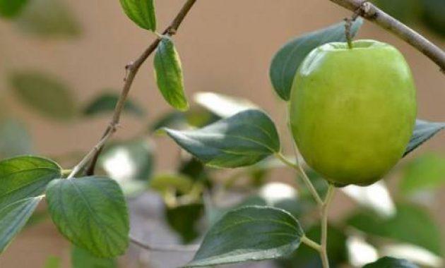 cara mencangkok apel india