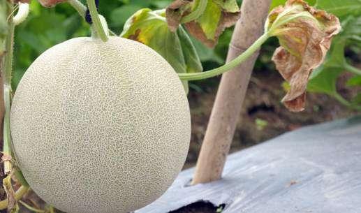 cara merawat pohon melon