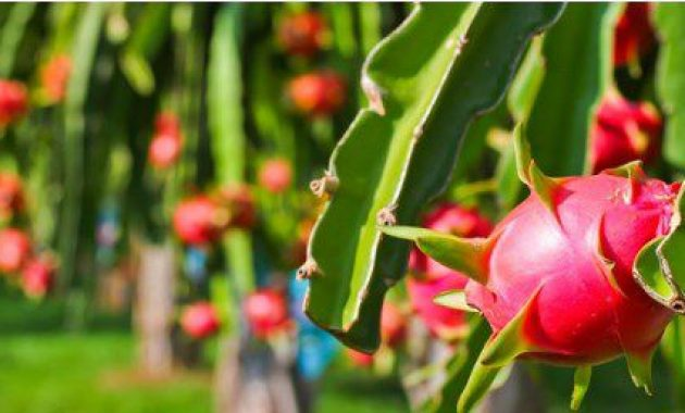 cara pemangkasan pohon buah naga