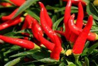 manfaat garam bagi tanaman cabai