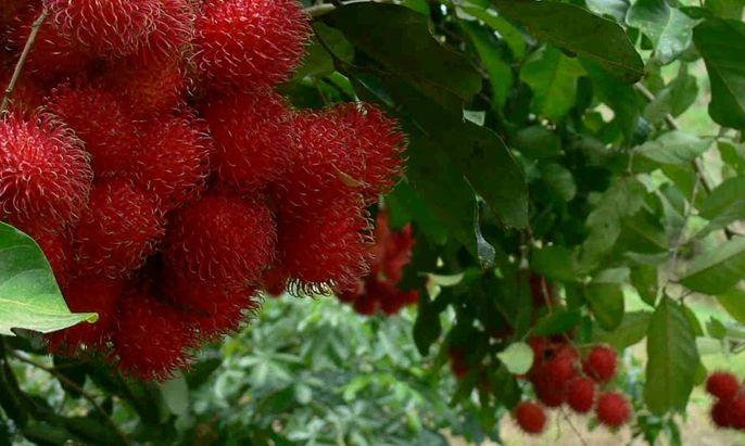 Cara Mencangkok Pohon Rambutan Yang Benar Beserta Gambar