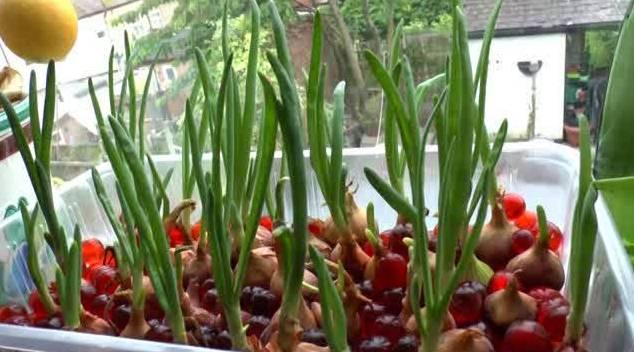 budidaya bawang merah hidroponik
