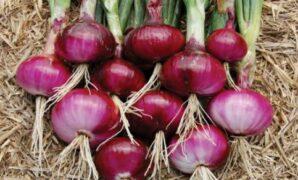 cara membuat bibit bawang merah