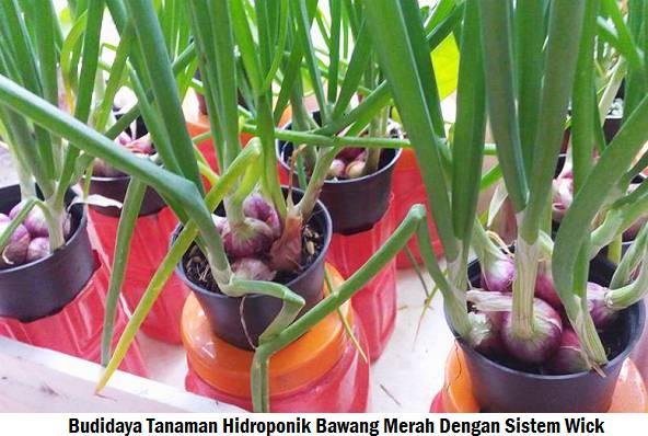 cara menanam bawang merah hidroponik sederhana