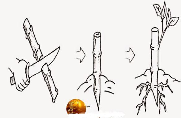 cara menanam bunga kertas dengan stek