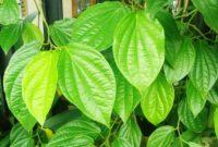 cara menanam daun sirih sendiri di rumah