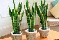 cara menanam lidah mertua di pot agar tumbuh