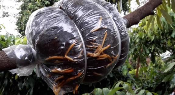 cara mencangkok durian montong