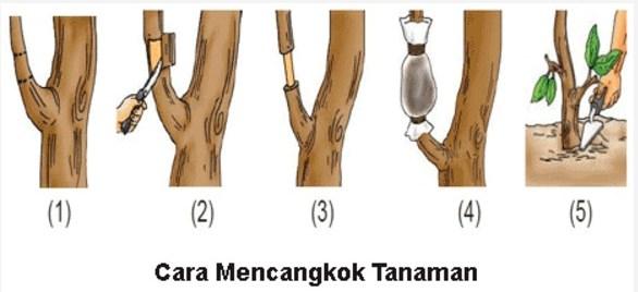 cara mencangkok durian yang baik dan benar