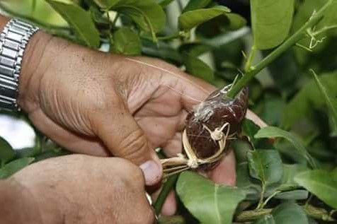 cara mencangkok pohon jeruk manis