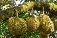 cara menyetek durian