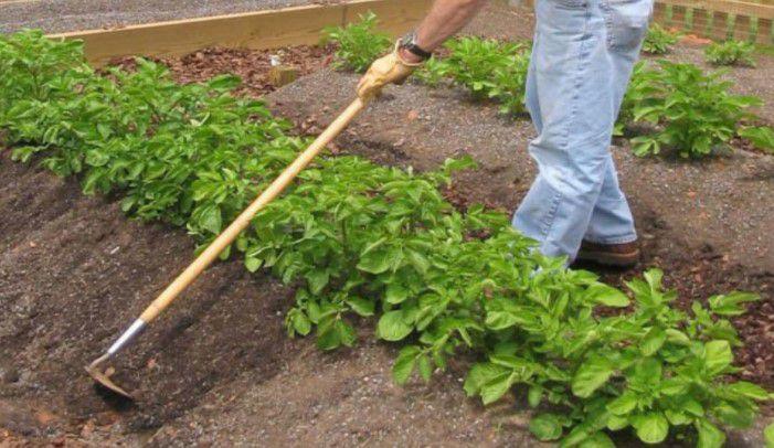cara menanam kentang di rumah