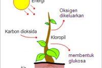 Tahapan Respirasi Tumbuhan [Aerob dan Anaerob] Serta Reaksinya