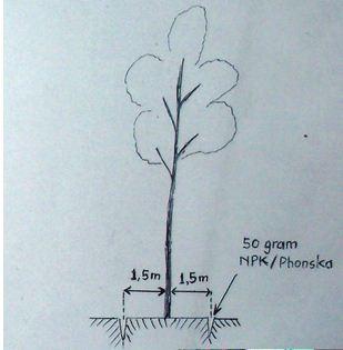 perawatan pohon sengon