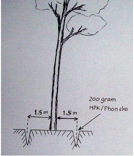 contoh cara menanam sengon