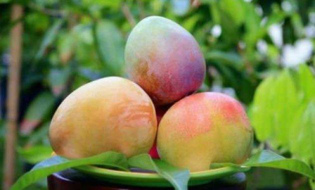 Cara menanam Tabulampot Mangga Cepat Berbuah