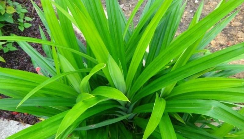 cara menanam daun pandan wangi