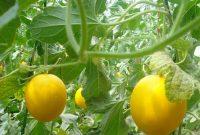 cara menanam melon di halaman rumah
