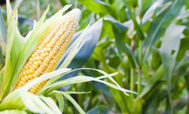 cara pemupukan jagung agar cepat berbuah