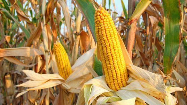 cara pemupukan jagung