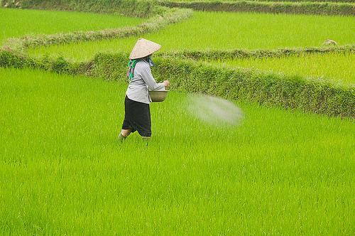 cara pemupukan padi ciherang yang benar