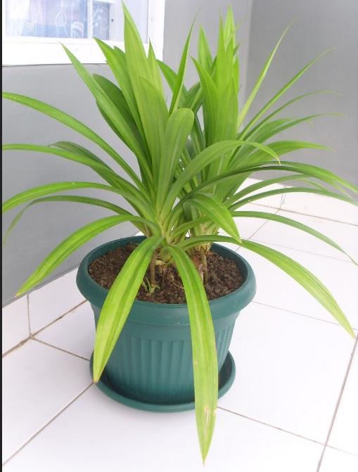 menanam pandan dalam pot