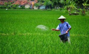obat untuk memperbanyak buah padi