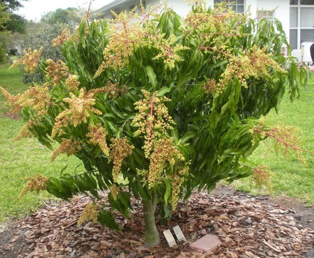 pupuk pohon mangga