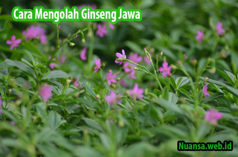 Cara Mengolah Ginseng Jawa