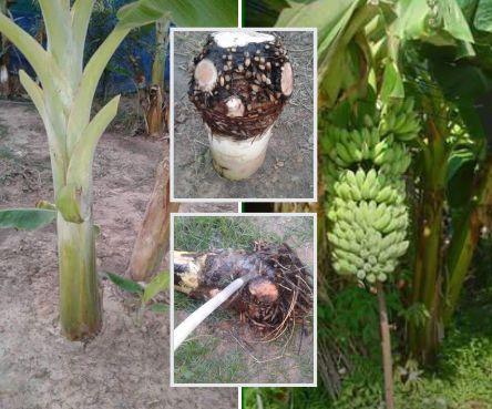 cara membuat bibit pisang dengan bonggol