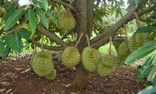 cara menanam durian