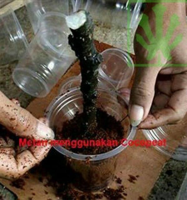 Stek pohon tin 2