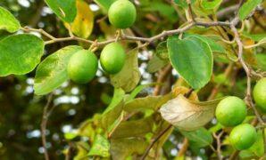 cara menanam pohon bidara