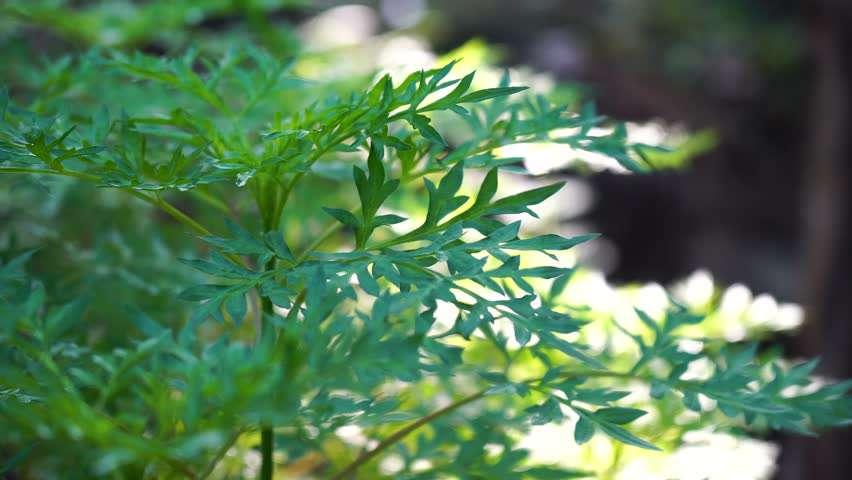 manfaat daun kenikir untuk asam urat