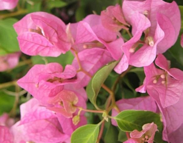 Cara Menanam Bunga Kertas Agar Cepat Tumbuh